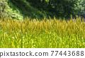 Ear of wheat 77443688