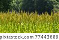 Ear of wheat 77443689