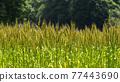 Ear of wheat 77443690