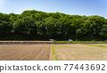 paddy field, rice field, paddy 77443692