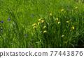 Iris flower 77443876