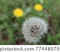 Dandelion's fluff 77448079