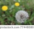 Dandelion's fluff 77448080