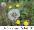 Dandelion's fluff 77448081