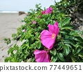 Hamanous flowers blooming on the sandy beach 77449651