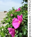Hamanous flowers blooming on the sandy beach 77449652
