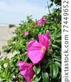 開花在沙灘的Hamanous花 77449652