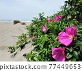 Hamanous flowers blooming on the sandy beach 77449653