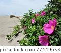 開花在沙灘的Hamanous花 77449653