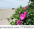 Hamanous flowers blooming on the sandy beach 77449654