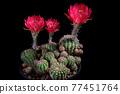 red flower of lobivia cactus agains dark background 77451764