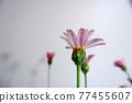 花朵 花 花卉 77455607