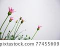 花朵 花 花卉 77455609