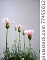 花朵 花 花卉 77455612