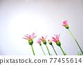 花朵 花 花卉 77455614