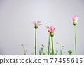 花朵 花 花卉 77455615