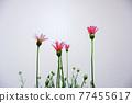 花朵 花 花卉 77455617