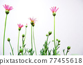 花朵 花 花卉 77455618