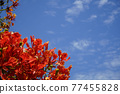 Red Caesalpinia pulcherrima in summer season in the garden and blurred sky background image. 77455828