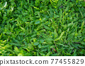 Top view of green grass texture background Idea concept used for making green backdrop. 77455829