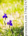 花菖蒲 花朵 花 77462747