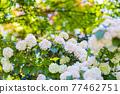 花菖蒲 花朵 花 77462751