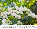 花菖蒲 花朵 花 77462752