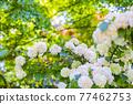 花菖蒲 花朵 花 77462753