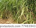Sugar Cane 77463943