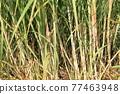 Sugar Cane 77463948