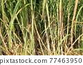 Sugar Cane 77463950