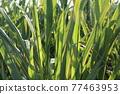 Sugar Cane 77463953