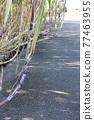 Sugar Cane 77463955