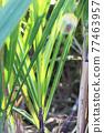 Sugar Cane 77463957