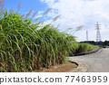 Sugar Cane 77463959