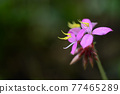 Melastoma malabathricum L. Beautiful thai flowers plant ,Chiangmai ,Thailand 77465289