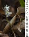 Griffith's Cheirostylis Beautiful thai orchid name is Cheirostylis griffithii 77465293