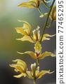 Cymbidium lowianum Rchb.f Beautiful thai orchid ,Chiangmai ,Thailand 77465295
