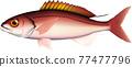 魚 矢量 鹹水魚 77477796