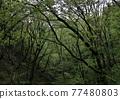 森林 樹林 樹木 77480803