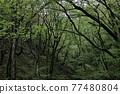 森林 樹林 樹木 77480804