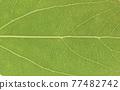 녹나무 (장목)의 잎과 줄기 77482742