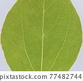 녹나무 (장목)의 잎과 줄기 77482744