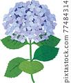 矢量 繡球花 花朵 77484314
