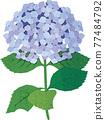 矢量 繡球花 花朵 77484792