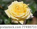玫瑰 玫瑰花 花朵 77490733