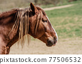 portrait of a horse on a pasture in nature 77506532