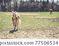 portrait of a horse on a pasture in nature 77506534