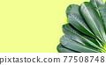 Plumeria leaves on green background. 77508748