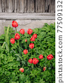 Red tulips growing in the garden near the barn. 77509132